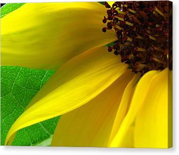 Sunflower Petals Canvas Print by Juergen Roth