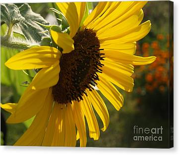 Sunflower Profile Canvas Print by Anna Lisa Yoder