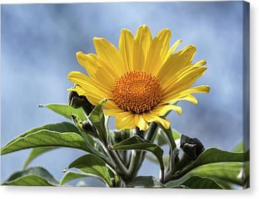 Canvas Print featuring the photograph Sunflower  by Saija Lehtonen
