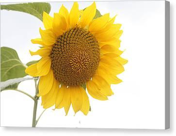Sunflower Salutation  Canvas Print