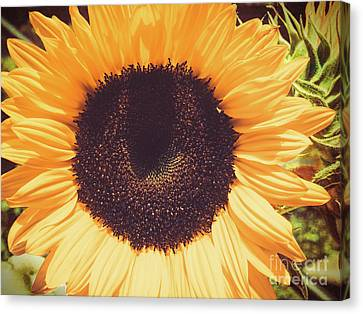 Sunflower Canvas Print by Scott and Dixie Wiley
