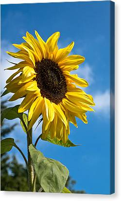 Sunflower Canvas Print by Scott Carruthers