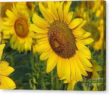 Sunflower Series Canvas Print by Amanda Barcon