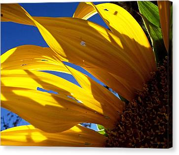 Sunflower Shadows Canvas Print