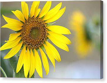 Canvas Print featuring the photograph Sunflower by Sheila Brown