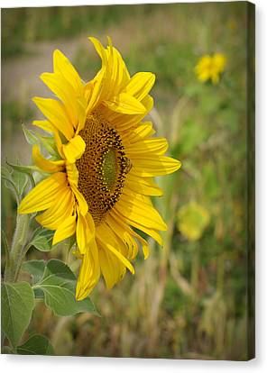 Sunflower Show Off Canvas Print