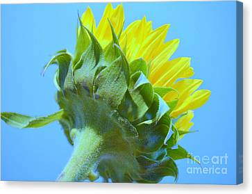 Sunflower Showing True Color Canvas Print by Mary Deal