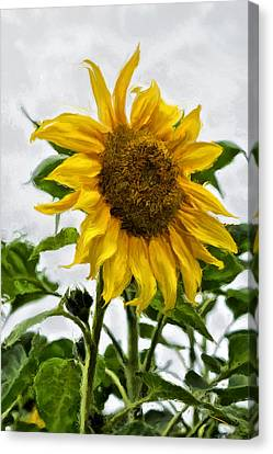Sunflower Canvas Print by SM Shahrokni