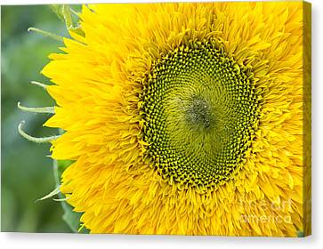Digital Sunflower Canvas Print - Sunflower Superted by Tim Gainey