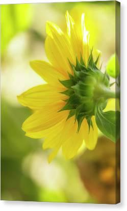Flora Canvas Print - Sunflower Sweet by Terry Davis