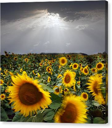 Sunflower Taking A Bow Canvas Print by Floriana Barbu
