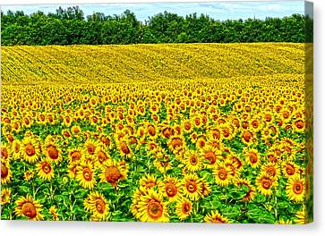 Sunflower Canvas Print by Thomas M Pikolin
