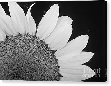 Sunflower Three Quarter Canvas Print by James BO  Insogna