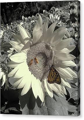 Sunflower Tint Canvas Print
