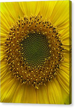 Canvas Print - Sunflower by Vari Buendia