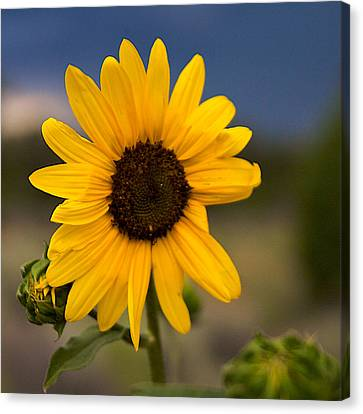 Sunflower Canvas Print by William Wetmore