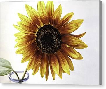 Sunflower Canvas Print by Zilpa Van der Gragt