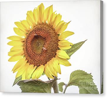 Canvas Print featuring the photograph Sunflowers 10 by Andrea Anderegg
