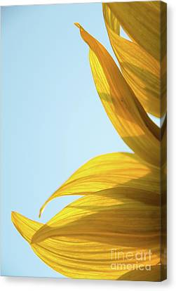 Canvas Print featuring the photograph Sunflowers 11 by Andrea Anderegg