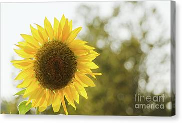 Canvas Print featuring the photograph Sunflowers 12 by Andrea Anderegg
