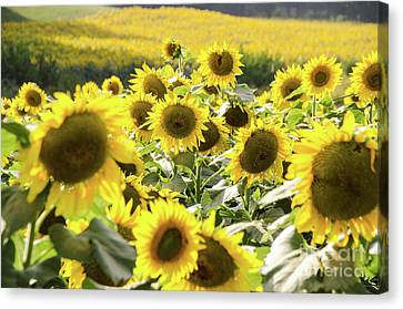 Canvas Print featuring the photograph Sunflowers 13 by Andrea Anderegg