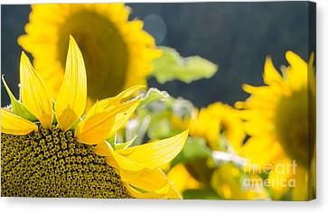Canvas Print featuring the photograph Sunflowers 14 by Andrea Anderegg
