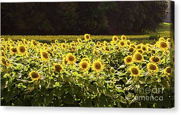 Canvas Print featuring the photograph  Sunflowers 5 by Andrea Anderegg