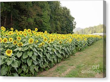Canvas Print featuring the photograph  Sunflowers 6 by Andrea Anderegg