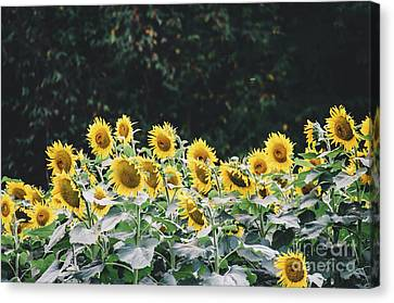 Canvas Print featuring the photograph Sunflowers 7 by Andrea Anderegg
