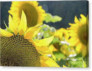 Canvas Print featuring the photograph  Sunflowers 8 by Andrea Anderegg