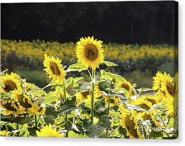 Canvas Print featuring the photograph Sunflowers 9 by Andrea Anderegg
