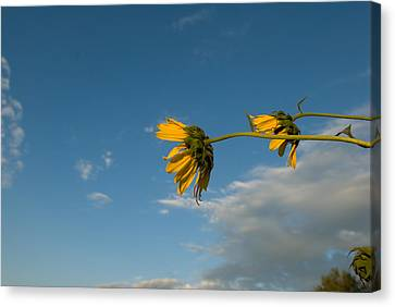 Sunflowers Along A Rural Nebraska Road Canvas Print by Joel Sartore