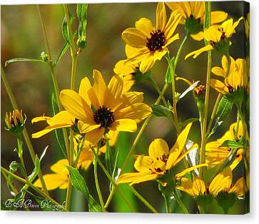 Sunflowers Along The Trail Canvas Print by Barbara Bowen