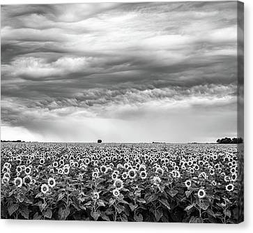 Sunflowers And Rain Showers Canvas Print by Penny Meyers