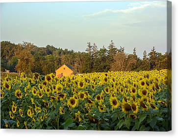 Sunflowers At Colby Farmstand Canvas Print