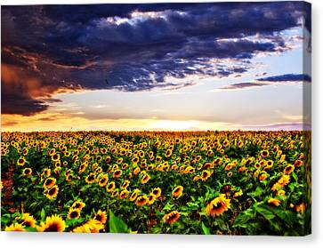 Sunflowers At Sunset Canvas Print by Eric Benjamin