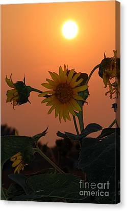 Sunflowers At Sunset Canvas Print by Kathy  White