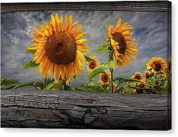 Sunflowers Blooming In A Field Seen Between Fence Rails Canvas Print by Randall Nyhof