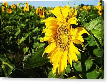 Sunflowers Canvas Print by Donald  Erickson