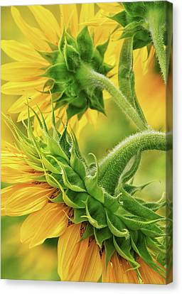 Sunflowers Every Which Way Canvas Print by Carolyn Derstine