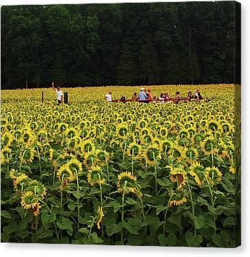 Sunflowers Everywhere Canvas Print by John Scates