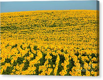 Sunflowers Galore Canvas Print by Catherine Sherman