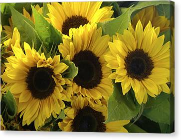 Sunflowers Canvas Print by Henri Irizarri