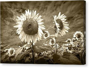 Sunflowers In Sepia Blooming In A Field Canvas Print