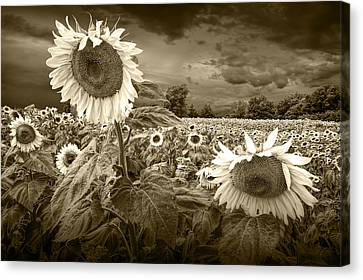 Sunflowers In Sepia Tone Canvas Print