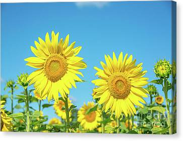Sunflowers In The Sun Canvas Print by Cheryl Baxter