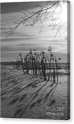 Sunflowers In The Winter Sun Canvas Print