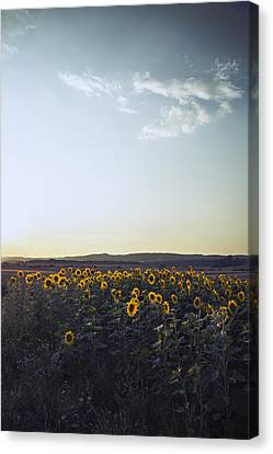 Sunflowers Canvas Print by Art of Invi
