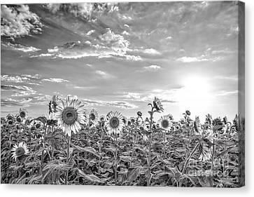 Bw Sunflowers Peep Toward The Sky  Canvas Print