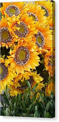 Sunflowers Under The Tuscan Sun  Canvas Print by Andrew Karp